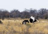 Ostrich display_Etosha NP, Namibia