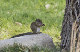 Smith's Bush-Squirrel_Mushara Lodge, Namibia