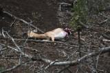Wild dogs take down an impala