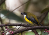 Yellow-sided Flowerpecker, Sulawesi