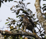 Changeable Hawk-eagle, Sumatra