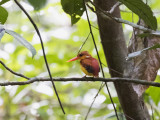 Rufous-backed Dwarf-Kingfisher, Sumatra