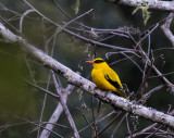 Black-naped Oriole, Sulawesi