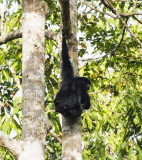 Siamang with child, Sumatra