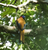 Red-naped Trogon, Java