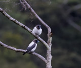 Ivory-backed Woodswallow, Sulawesi