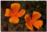 SoCal Wildflowers