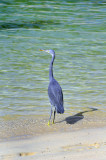 Blue Egret on Shangri La Beach
