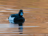 Tufted Duck CNP 200414 2.jpg