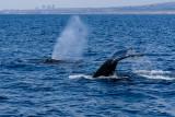 Humpback Whales, Newport Beach