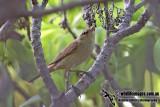 Oriental Reed Warbler 4675.jpg