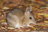 Bandicoots and Bilbys