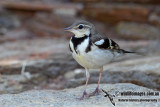 Forest Wagtail 1294.jpg
