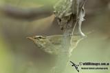 Kamchatka Leaf Warbler a3037.jpg