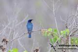 Blue & White Flycatcher 6484.jpg