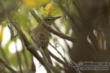 Oriental Reed Warbler a3725.jpg