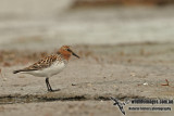 Red-necked Stint a1978.jpg