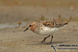 Red-necked Stint a2455.jpg