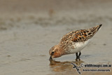 Red-necked Stint a2474.jpg