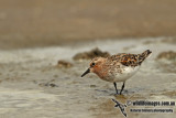 Red-necked Stint a2511.jpg