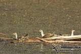 Comb-crested Jacana a4470.jpg