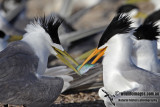 Two Crested Terns 5059.jpg