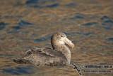 Northern Giant-Petrel a2194.jpg