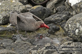 Northern Giant-Petrel a8167.jpg