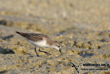 Red-necked Stint a1425.jpg