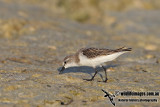 Red-necked Stint a1433.jpg