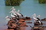 Australian Pelican a2367.jpg