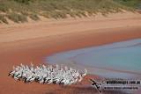 Australian Pelican a2370.jpg