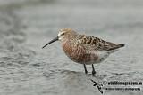 Curlew Sandpiper a1641.jpg
