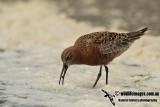 Curlew Sandpiper a1762.jpg