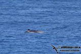 Strap-toothed Beaked Whale