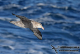 Northern Giant-Petrel a6147.jpg