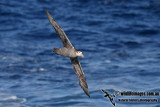 Northern Giant-Petrel a6172.jpg