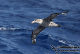 Northern Giant-Petrel a9758.jpg