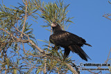 Wedge_tailed_Eagle_a2211.jpg