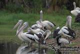 Australian Pelican a4146.jpg