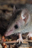 White-footed Dunnart 9927.jpg