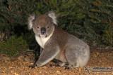 Wombats and Koala