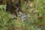 Western Brush Wallaby