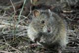 Heath Mouse