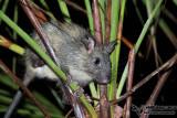 Black-footed Tree-Rat