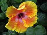 yellow and orange hybiscus