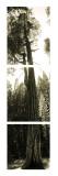 SequoiaTree8