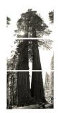 SequoiaTree14