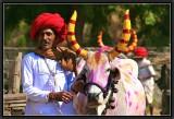 Bollywood Oxen.