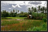 Rice Fields in  Ubud.